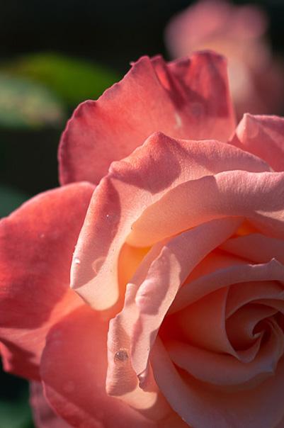 Rose_garden_For_Retractable_Shade_Sail_Kangaroo_Valley_Project